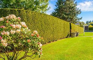Омоложение изгородей и кустарников